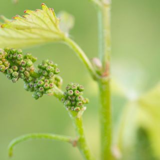 Chardonnay flower before blooming